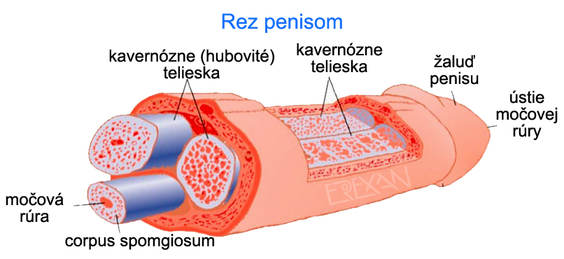 ako vzniká erekcia