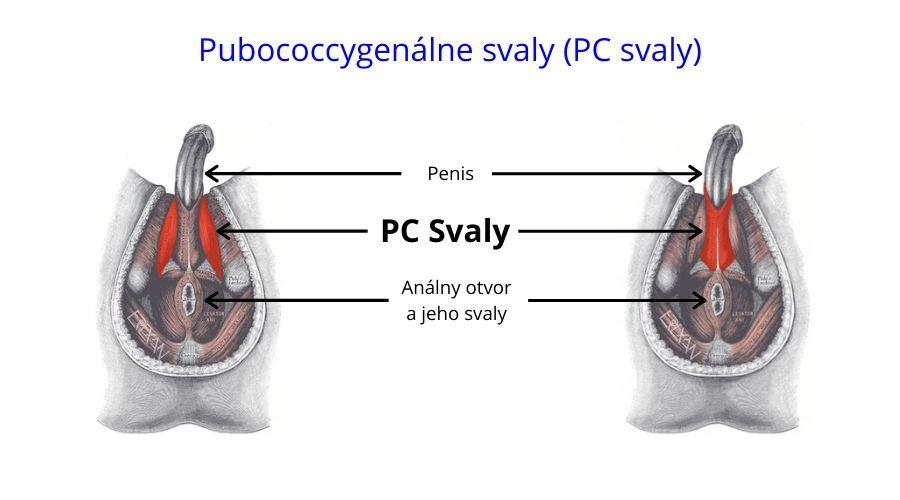 PC svalstvo - anatómia - rez