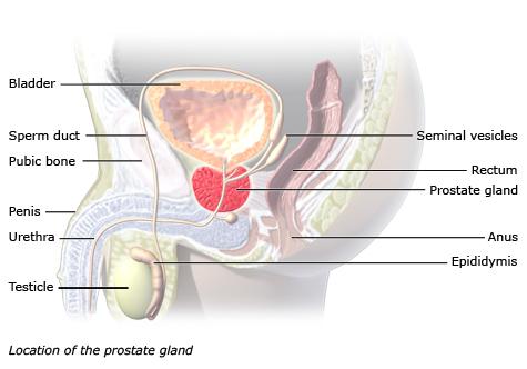 anatómia prostaty